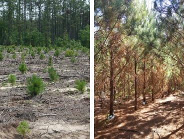 Short Rotation Woody Crop Study Pine Growth Year 1 vs Year 5